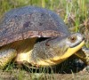 Endangered Blanding's Turtle