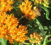 Honey-bee on Butterfly Milkweed