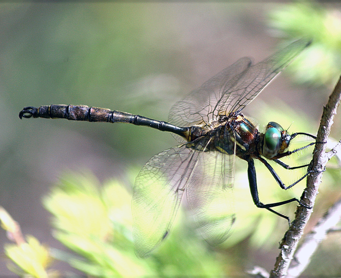 Hines Emerald Dragonfly -Chris Evans photo
