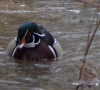 Wood Duck in winter - W. Shotyk photo