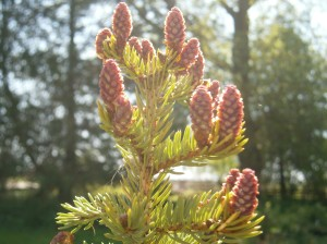 White spruce cones -AWARE Simcoe photo