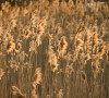 Great Lakes Phragmites photo