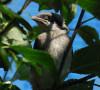 Eastern Loggerhead Shrike