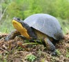 Blanding's Turtle -Joe Crowley photo