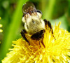 Bumble bee -Jennifer Howard photo