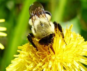 Bumble bee -Jennifer Howard photo