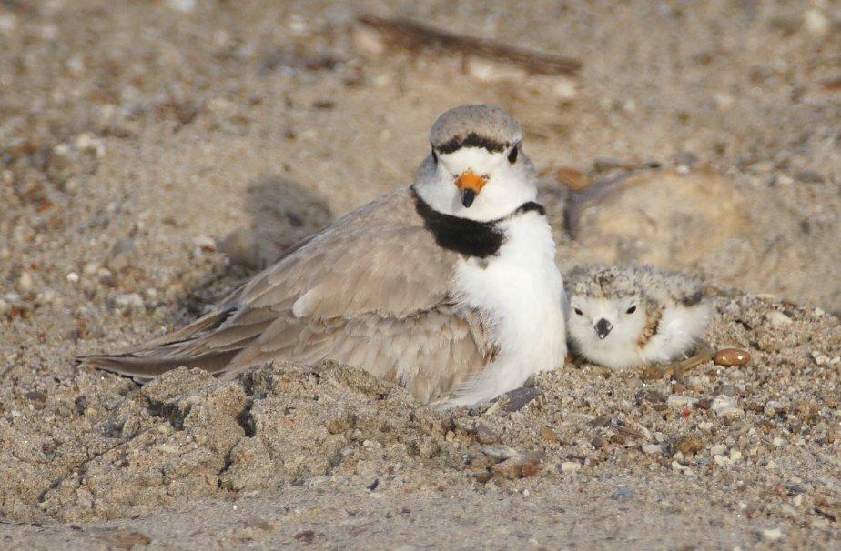 Piping plover and chick at Wasaga Beach