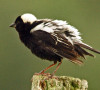 Bobolink -Jennifer Howard photo
