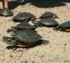 Juvenile Midland Painted Turtles - Patrick Muldowan photo