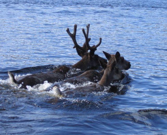 Woodland caribou swimming - Aikens Lake News photo
