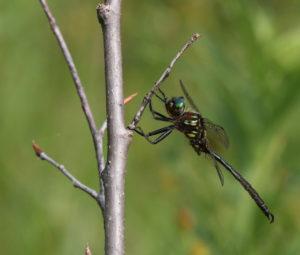 Hine's Emerald Dragonfly -Chris Evans photo
