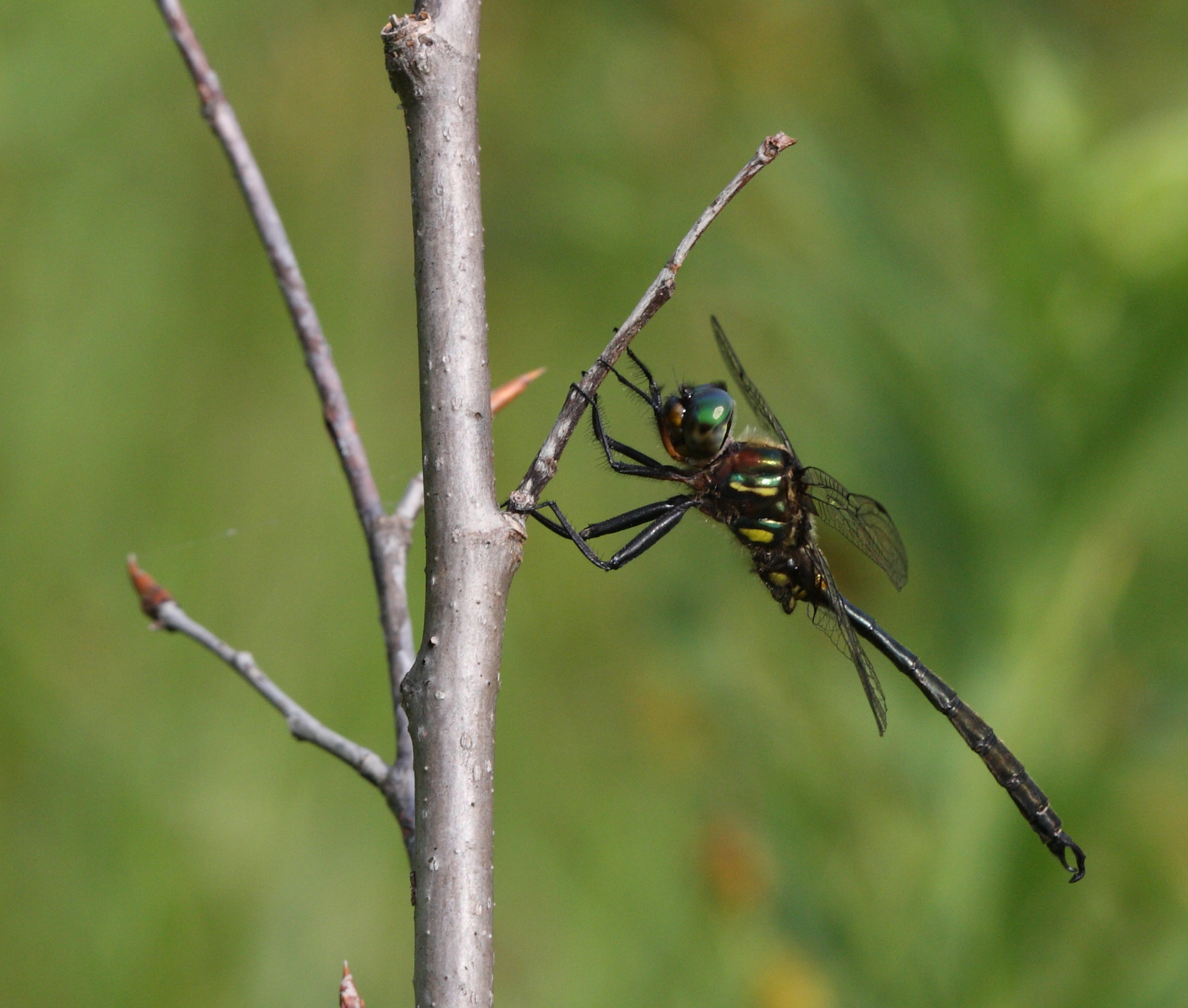 Hine's Emerald Dragonfly -Chris Evans photo