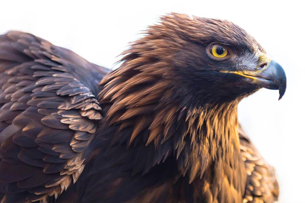 Endangered Golden Eagle
