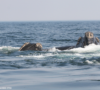 Endangered North Atlantic right whales gather to feed