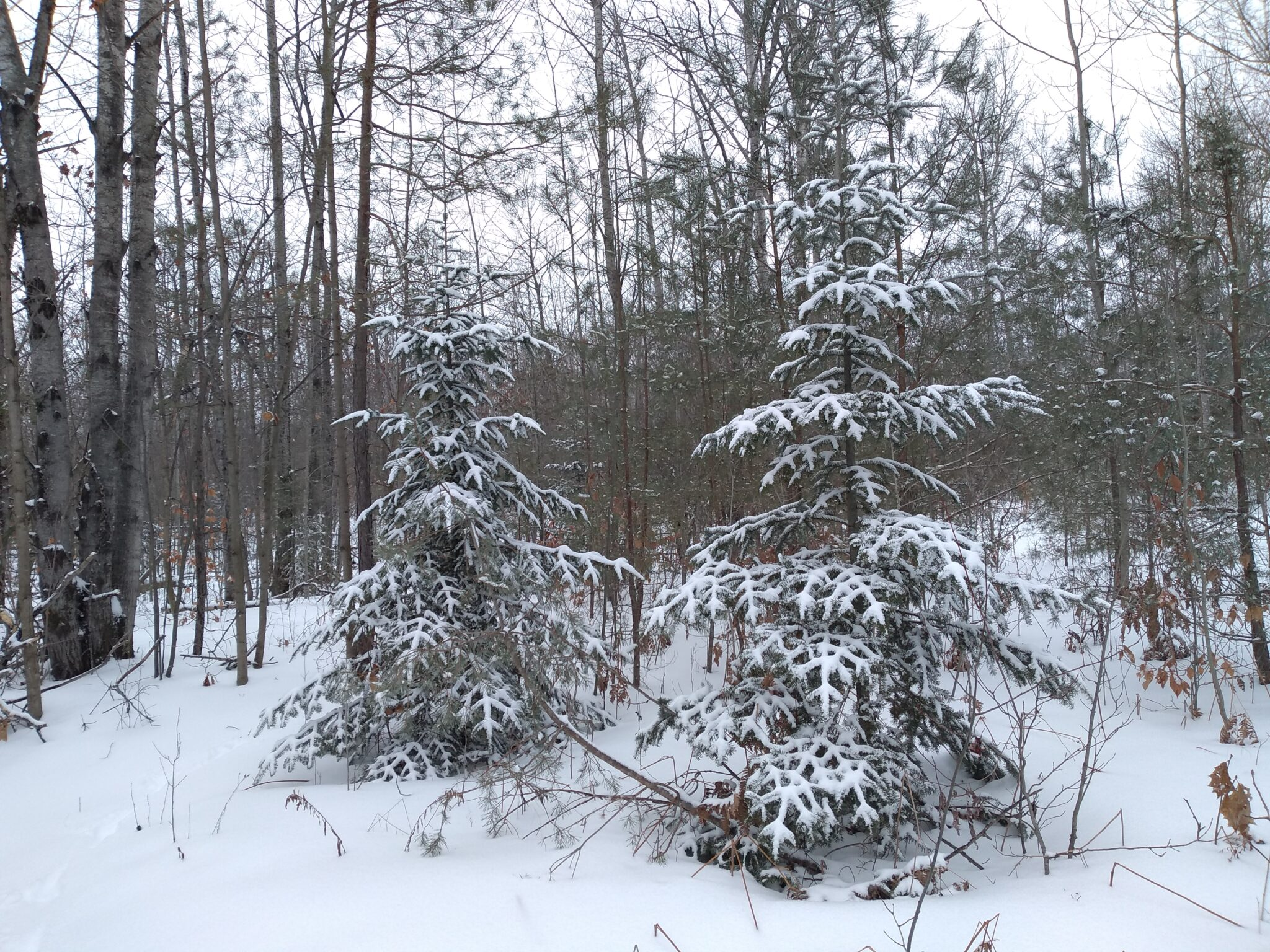 County forest in winter